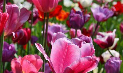 Stimme Leserreisen - Blumenkorso in Holland